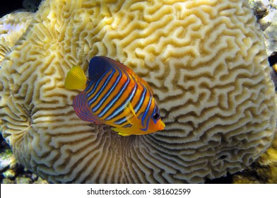 Clown anemonefish (Amphiprion percula) and brain-coral