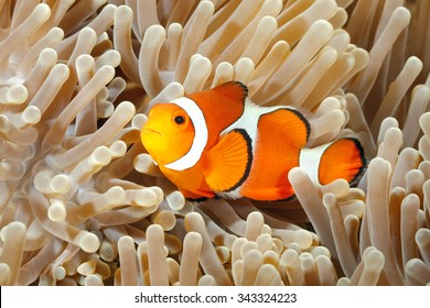 Clown Anemonefish, Amphiprion percula, swimming among the tentacles of its anemone home. Tulamben, Bali, Indonesia