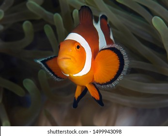 Clown anemonefish in Bohol sea Philippines