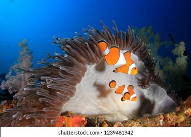 Clown Anemonefish (Clownfish) fish