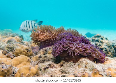 Clown Anemonefish, swimming in anemone,   soft coral