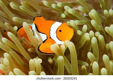 a clown anemonefish swimming in its anemone, underwater