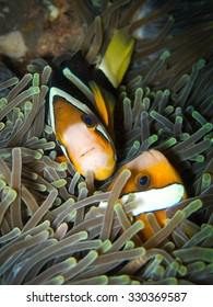 Clown fish, Amphiprion clarkii, hiding in  sea anemone