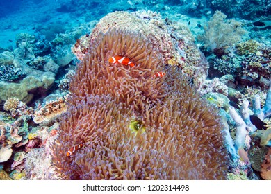 Clown fish in anemone around colorful corals and tropical fishes, marine life in Southern Leyte, the Philippines.