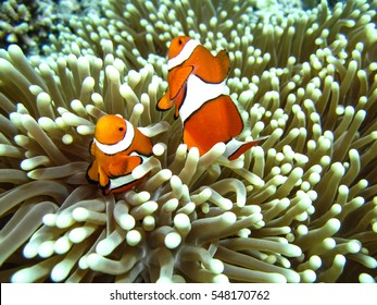 Clown Fish in Anemone, Great Barrier Reef, Australia