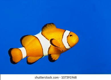 clown fish or anemone fish isolated on Blue background