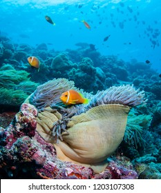 Clown fish and anemone, The Maldives.