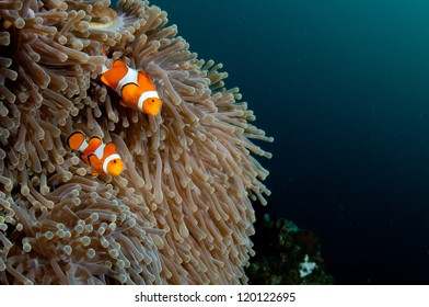 Clown fish in an anemone with negative copyspace