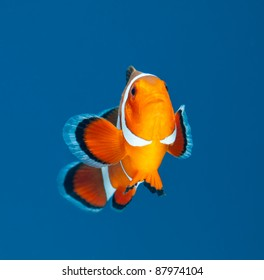 clown fish or anemone fish on blue background