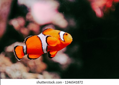 A clown fish at the Aquarium