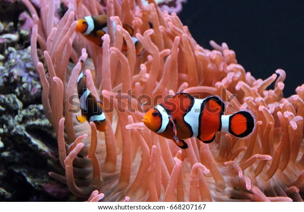 Clown Fish in Aquarium