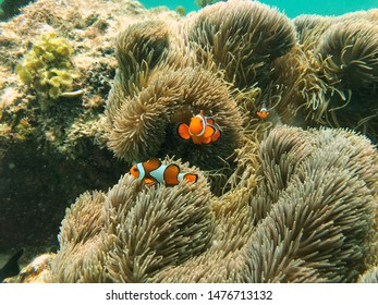 Clown fish Boracay Phillipines Nature