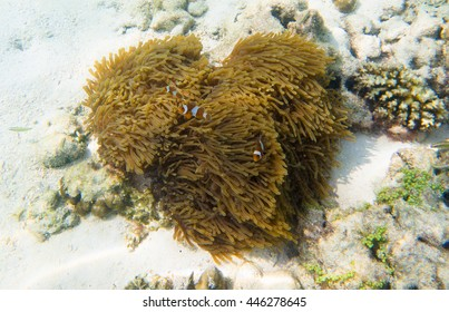Clown fish in the coral under clear water,Clown fish home,coral like a heart.Clown fish love coral.summer at Andaman sea,Lipe island,Koh Lipe Stul Thailand. - Shutterstock ID 446278645