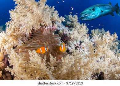 Clown fish couple with a barracuda, Red Sea, Eqypt