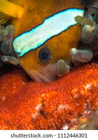 Clown fish with eggs