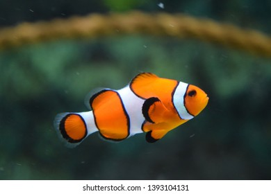 Clown fish exhibiting for the camera