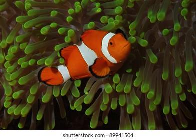 Clown fish in green anemone
