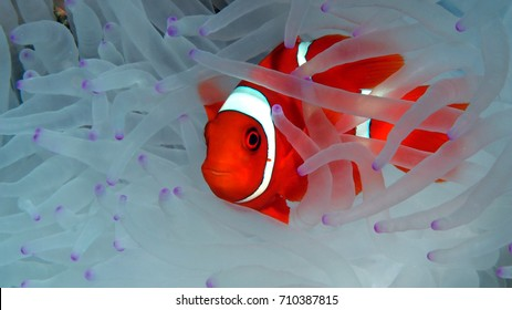 clown fish hides in his white anemone