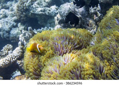 Clown fish in the Indian Ocean