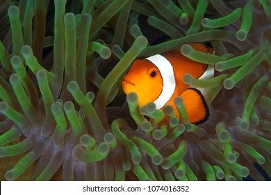 Clown fish inside anemone