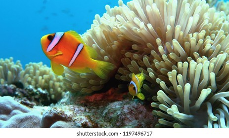 Clown fish with juvenile near sea anemone. Amphiprion bicinctus - Two-banded anemonefish. Red Sea