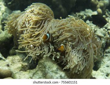 Clown Fish - Koh Lipe / Lipe Island