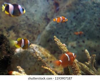 The Clown fish In Marine Aquarium.Amphiprion Ocellaris .