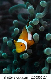 Clown fish Nemo