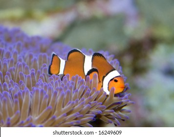 clown fish on australia's great barrier reef