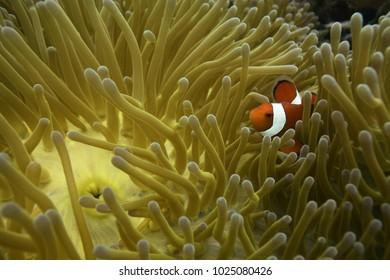 clown fish of philippines