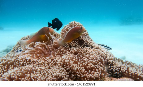 clown fish Philippines Moalboal Cebu