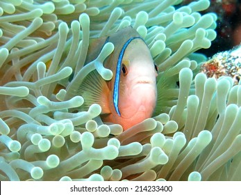 Clown fish, scuba diving Tahiti