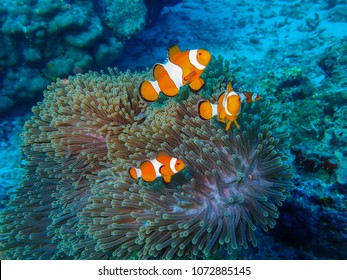 Clown fish - Similan National Park, North Andaman, Thailand.