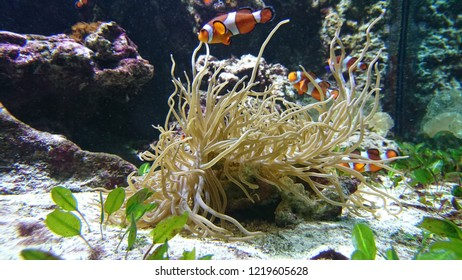 Clown fish swarming around an anemone in a fish tank