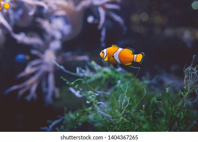 Clown fish in tank Several tropical clown fish swimming in aquarium with green seaweed