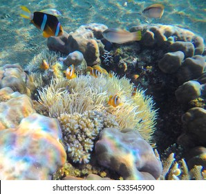 Clown fishes in actinia underwater landscape. Clownfish undersea photo. Clean blue sea lagoon with coral reef. Oceanic ecosystem. Underwater photography for wallpaper. Tropical seashore ecosystem