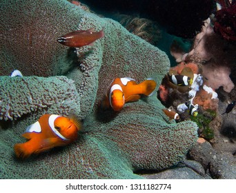 Clown fishes and,anemone.