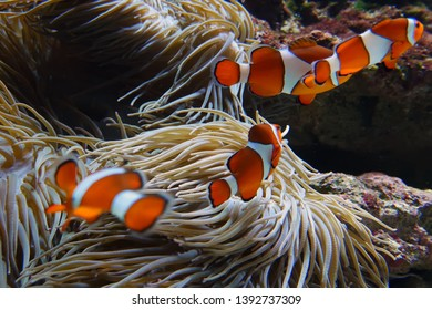 Clown fishes playing among anemone