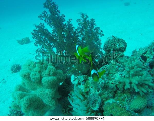 Clown fishes underwater