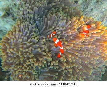 CLOWN FISH/WAKATOBI/INDONESIA-JULY 2012: Clown fish is living in the anemone