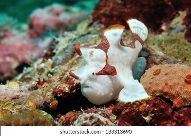 Clown frogfish (painted anglerfish, painted angler) is sitting on a coral reef, Panglao, Philippines