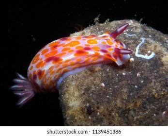 Clown nudibranch Ceratosoma amoenum at Parsley Bay, Sydney, Australia