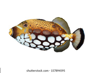 Clown Trigger Fish isolated on white