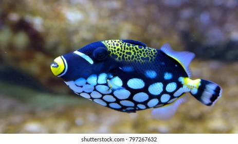 Clown Triggerfish (Balistoides conspicillum) in Aquarium against Coral Background