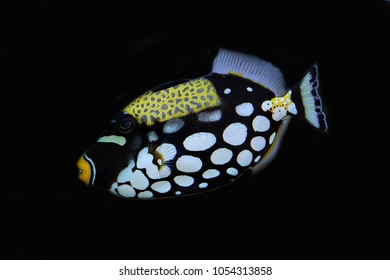 Clown triggerfish (Balistoides conspicillum), bigspotted triggerfish, are demersal marine fish belonging to the family Balistidae. one of the popular aquarium fish.
