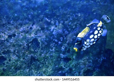Clown triggerfish (Balistoides conspicillum), also known as the bigspotted triggerfish, are demersal marine fish belonging to the family Balistidae, or commonly called triggerfish.