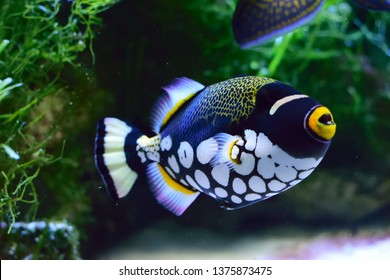 Clown Triggerfishwith a natural green backraund colorful