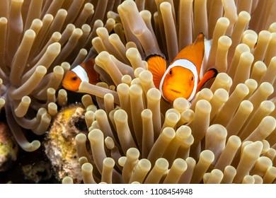 Clownfish Amphiprion Ocellaris hidden in sea anemone, Indonesia