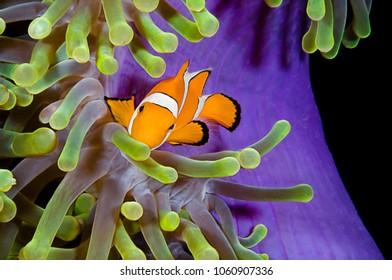 Clownfish, Amphiprion ocellaris, hiding in host sea anemone Heteractis magnifica, Komodo Island, Indonesia, Indo-Pacific.