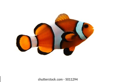 A clownfish (Amphiprion Ocellaris) on a white background.